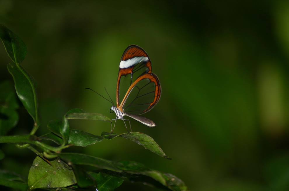 Glasswing at Hortus Botanicus in Amsterdam