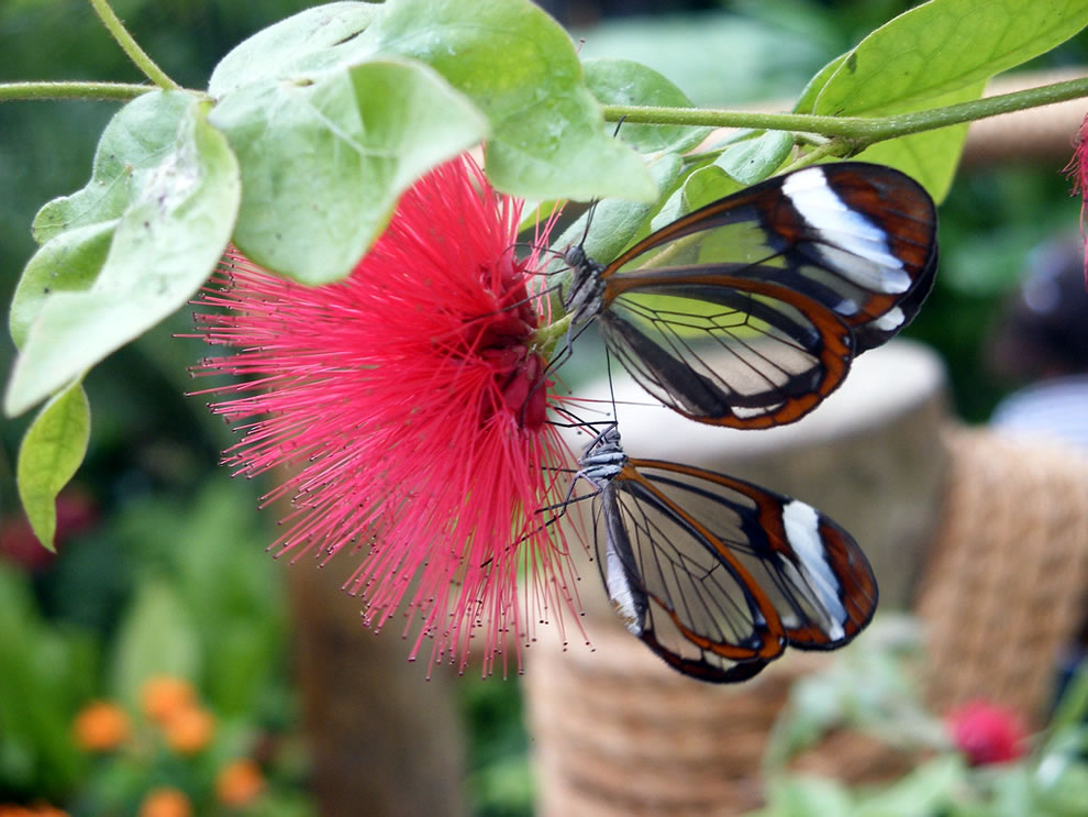 Glasswing butterflies on a and a fluffy pink plant