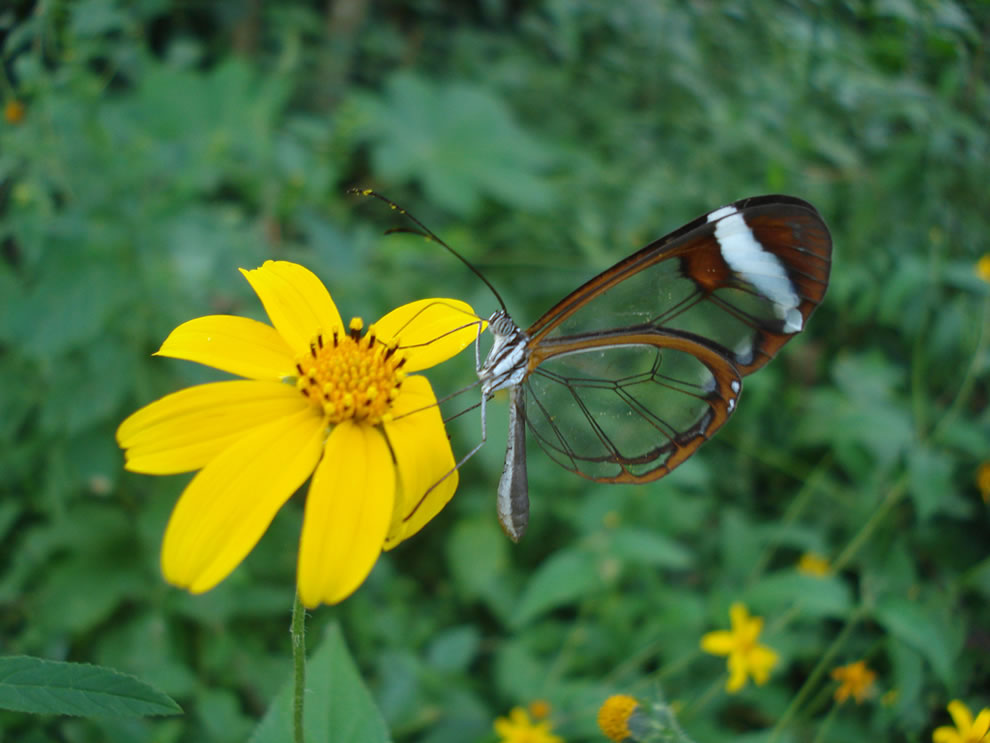 Glasswing butterfly perched on a yellow wildflower