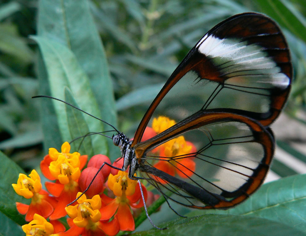 Glasswing butterfly, wings become windows
