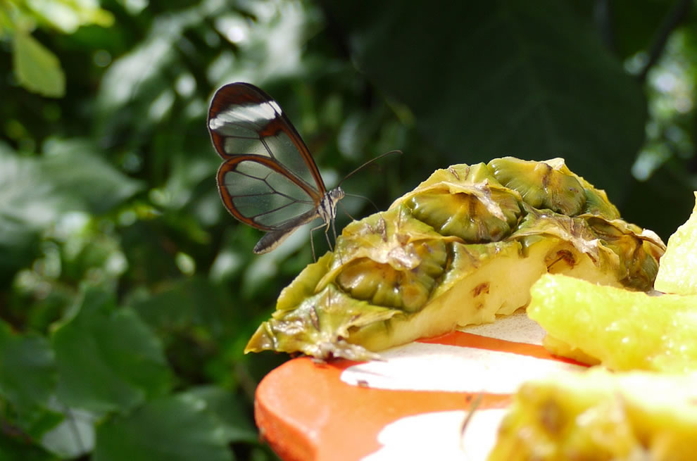 Glasswing feasting pineapple