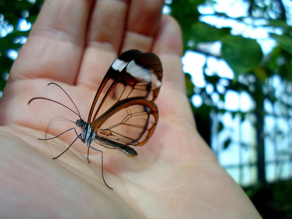 Glasswing in a palm