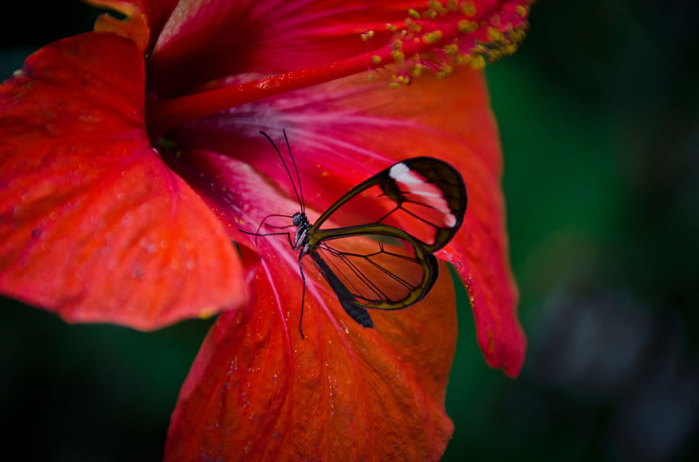 Glasswinged butterfly at the London Zoo