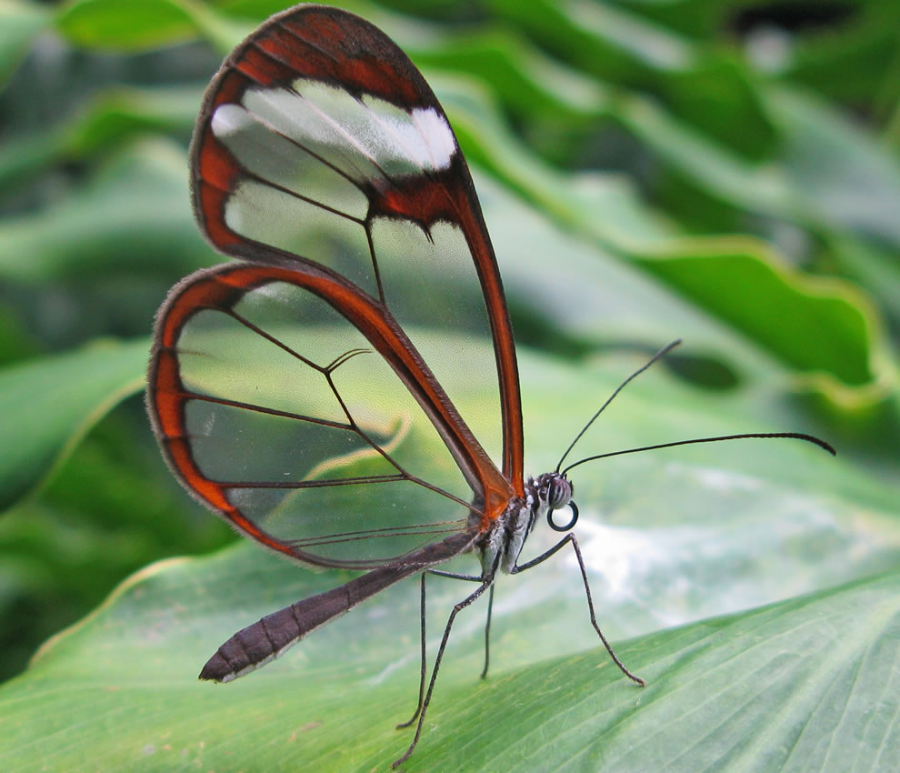 Greta oto - Glasswing