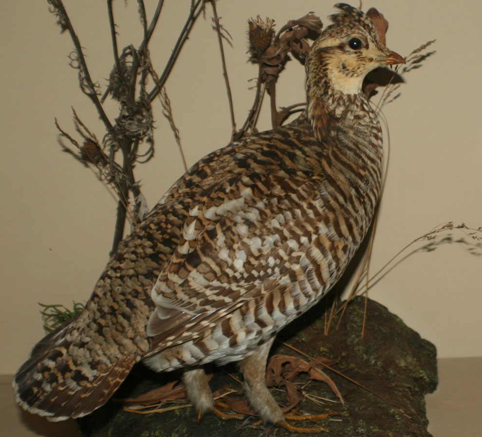 Heath hen became extinct in 1932