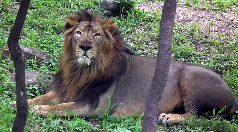 Indian Lion from Nehru Zoological Park, Hyderabad, India