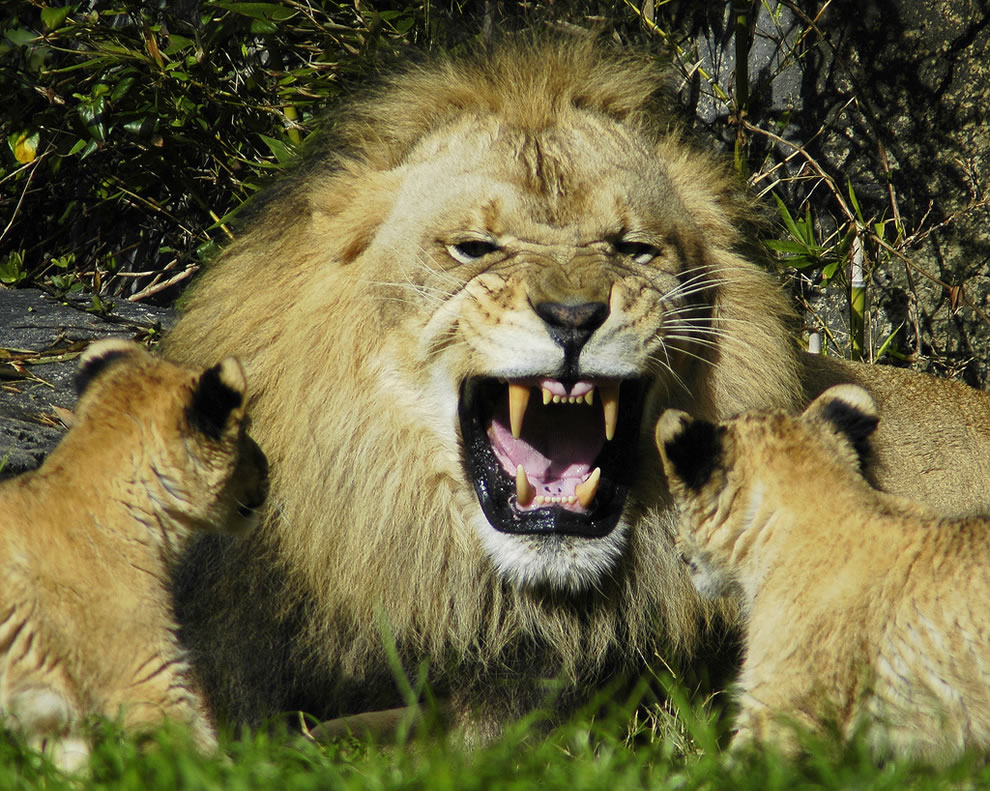 Lion cubs have no fear of their roaring father