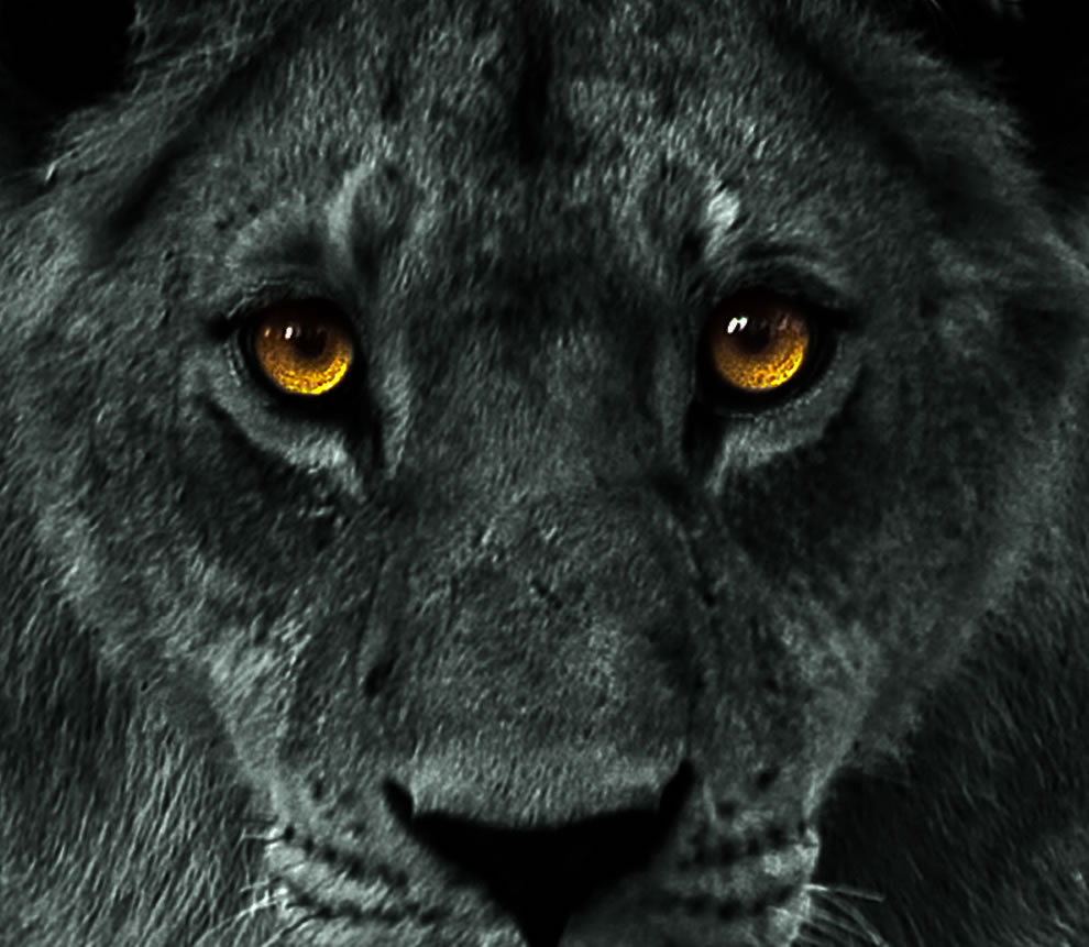 Not a black lion, but a black and white photo of a lioness with the eyes still in color