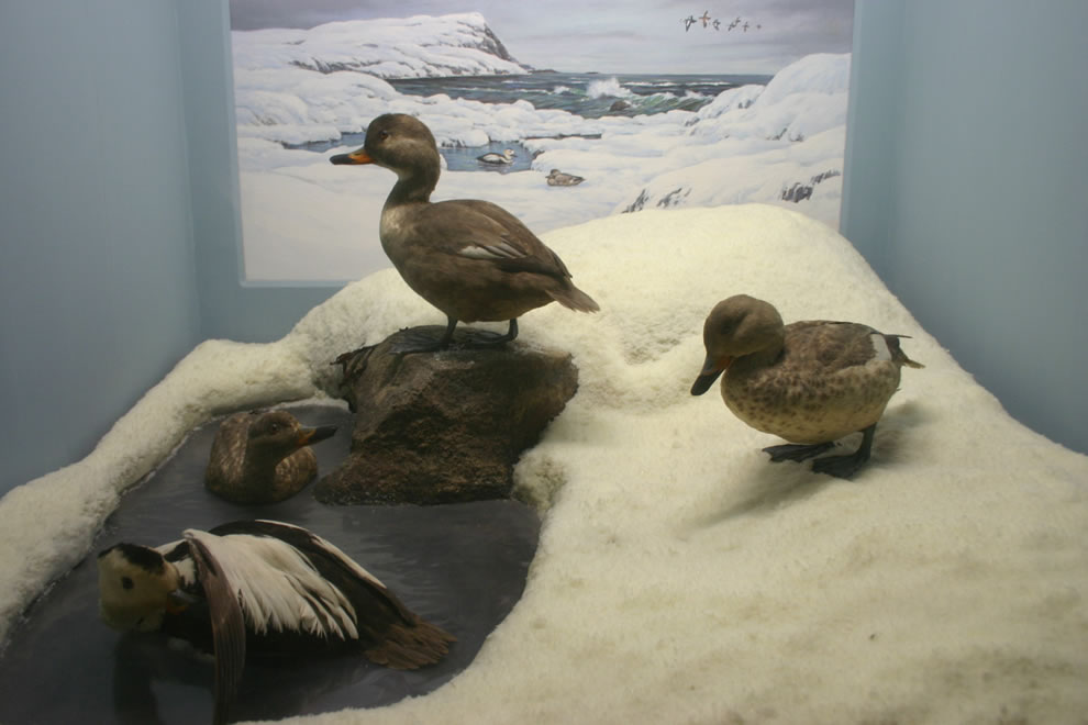 Stuffed Labrador Ducks, 1878 extinct North American bird