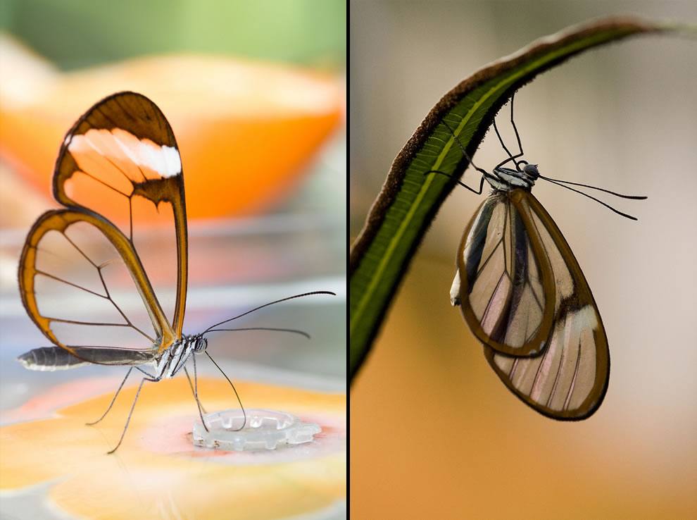 Stunning captures of Glasswings, Translucent Butterfly (Greta Oto)