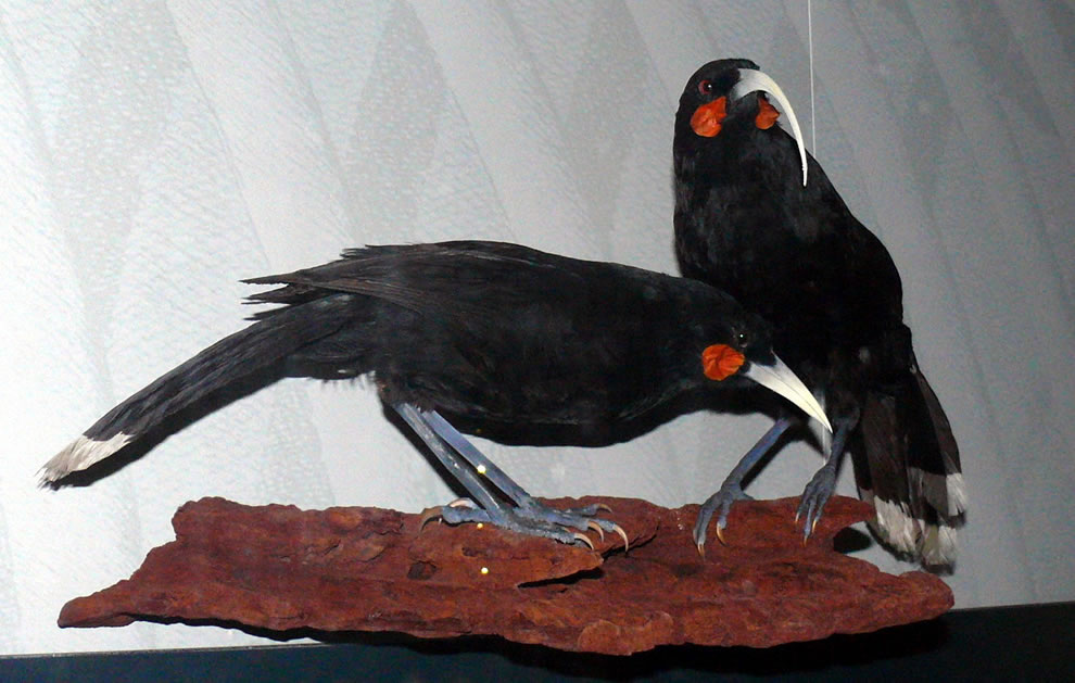 Taxidermy exhibit of a Huia pair at Museum für Naturkunde, Germany; extinct in 1907