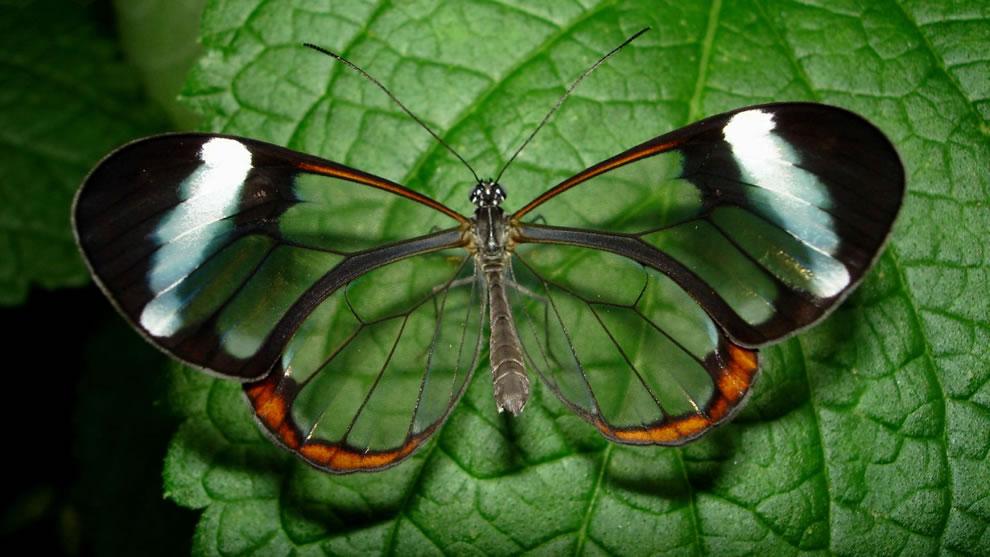 Gorgeous Glasswing Butterflies (42 Stunning Photos)