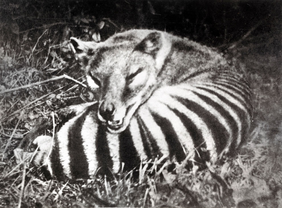 Thylacine, Tasmanian tiger also called Tasmanian wolf