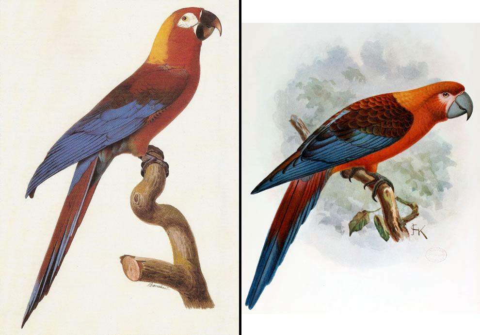 Tricolor Cuban Macaw, Cuban Red Macaw extinct in late 19th century