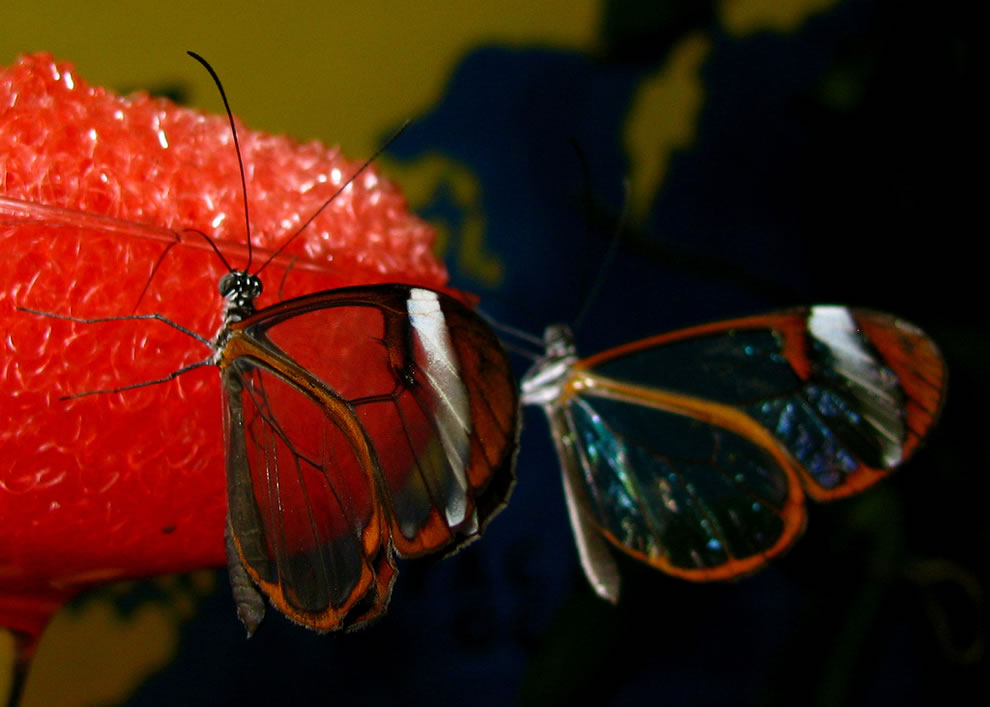 Two glasswing butterflies eating
