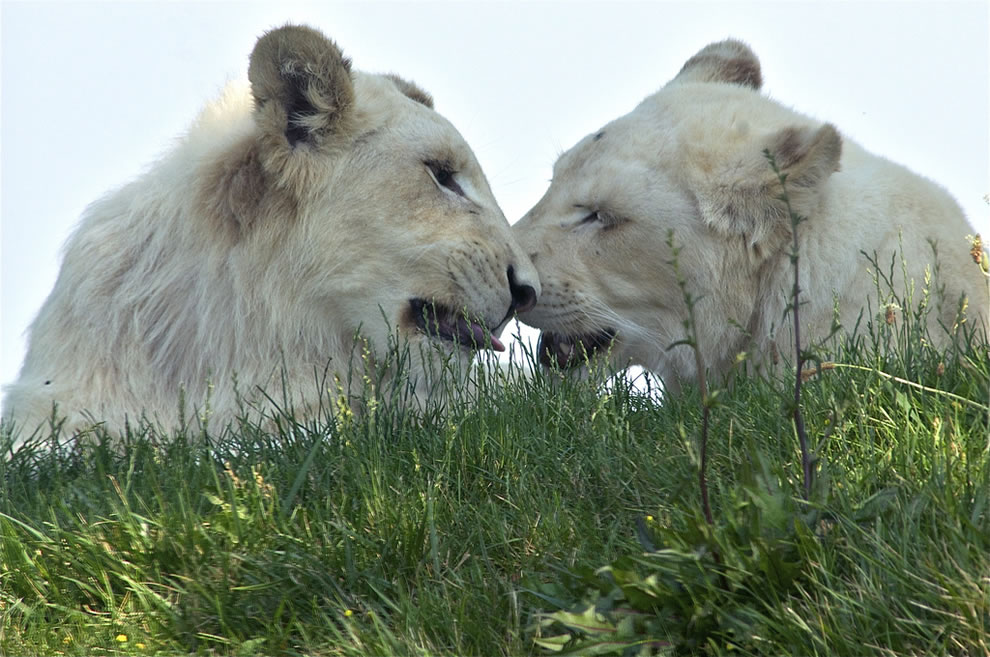Young white lions saying Purrrr... I think I like you
