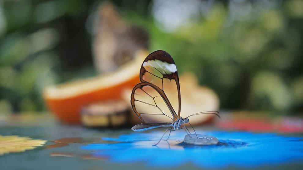 Glasswing butterfly at the glasshouse at RHS Wisley