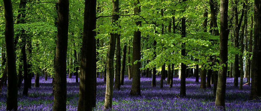Ashridge Park, Hertfordshire, UK, the National Trust Woodlands carpeted with English Bluebells in Spring