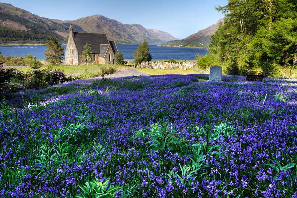 Bluebells at Ballachulish, Scotland