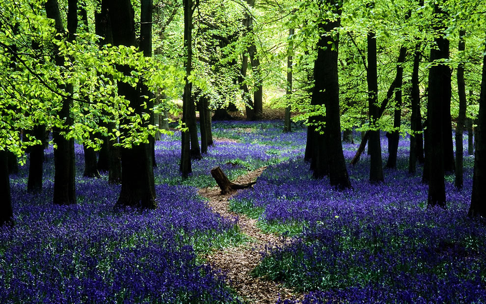 Bluebells in Ashridge, English landscape transformed into a sea of blue