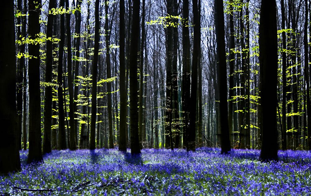 Dark tree silhouettes and millions of bluebells