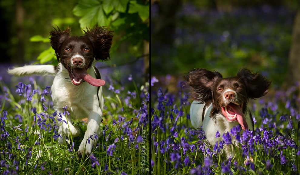 English Springer Spaniel running in bluebell woods