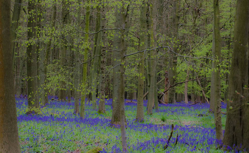 Fairyland Bluebells