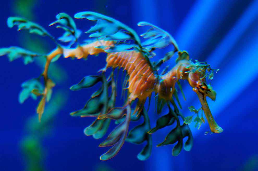 Leafy Seadragon in the Georgia Aquarium