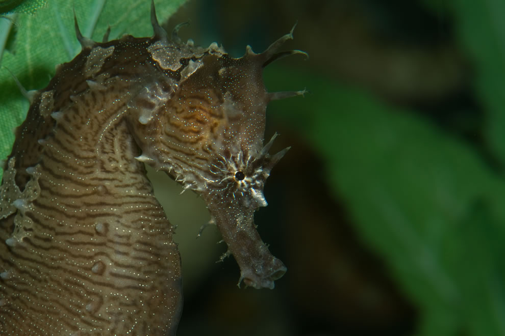 Lined seahorse, Hippocampus erectus