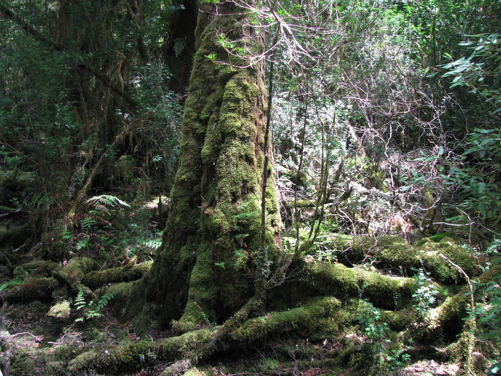 Mossy Antarctic Rainforest along Gordon River, Tasmanian Wilderness World Heritage Site, Tasmania