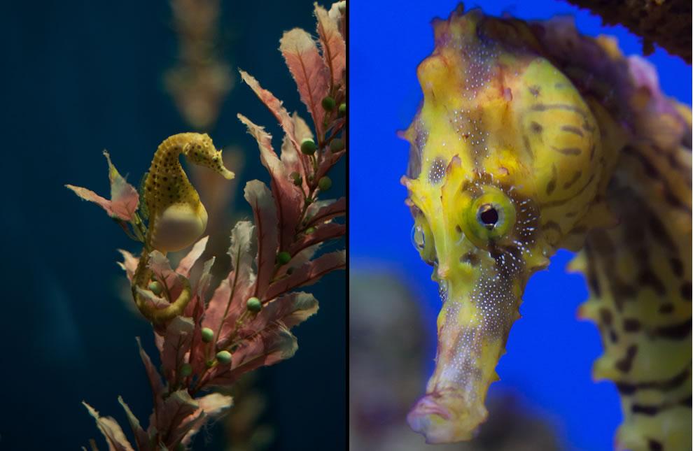 Potbelly seahorse and seahorse ultra closeup