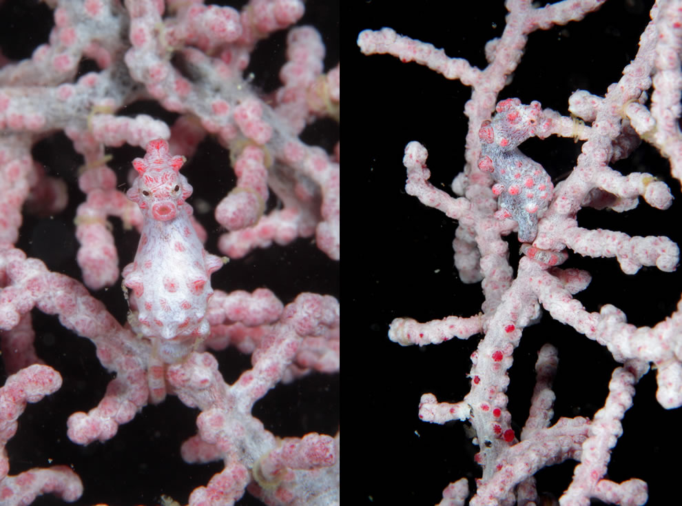 Pygmy seahorse well-camouflaged to blend in with the soft coral around Cebu, Philippines