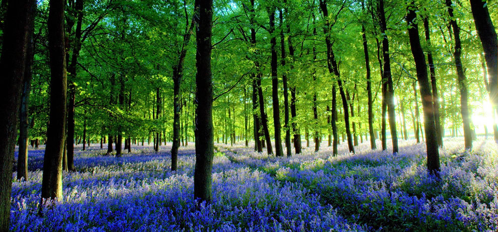 Rays of sunshine at dusk on the bluebell carpet of Ashridge Forest