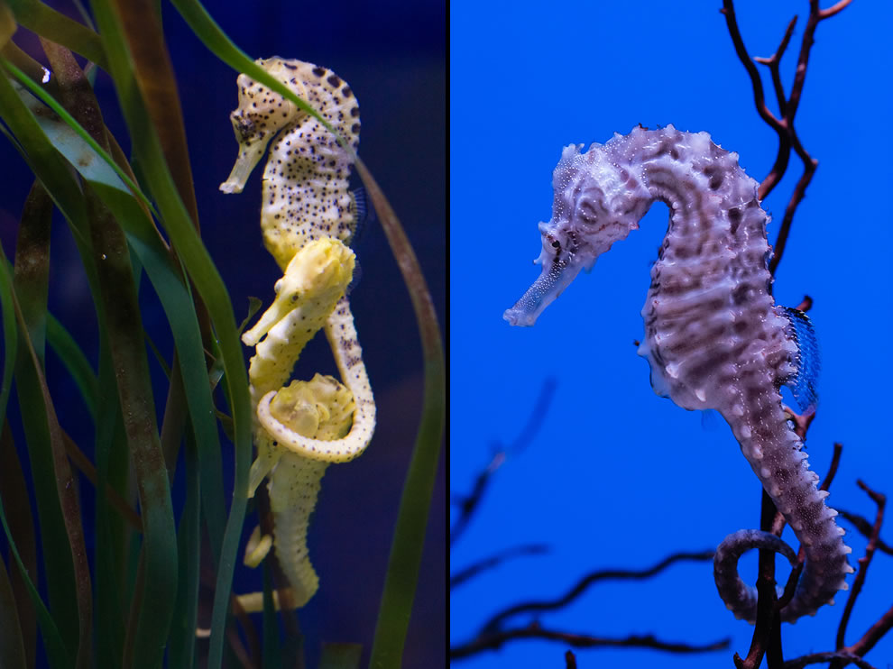 Seahorse cluster, tail around head, and closeup of seahorse