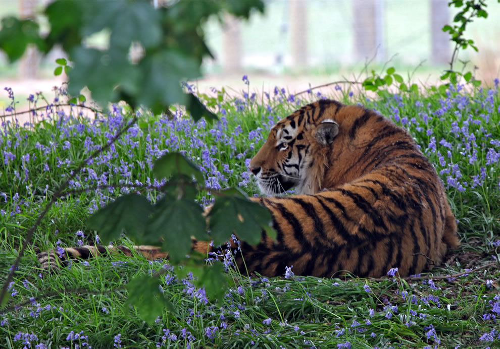 Siberian Tiger relaxing in the bluebells at Yorkshire Wildlife Park