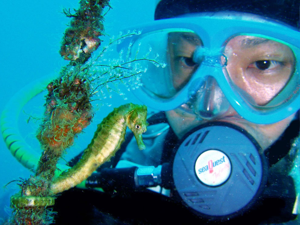 Scuba diving with a 'great seahorse'