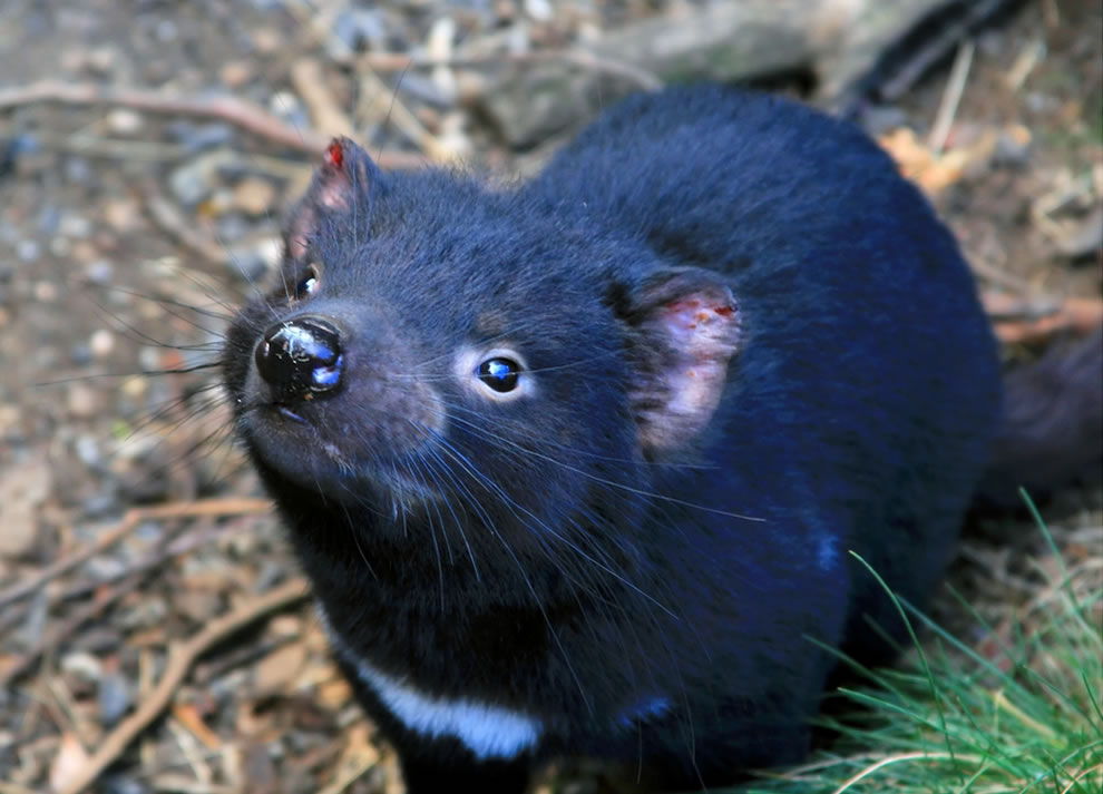 Tasmanian Devil at Cradle Mountain