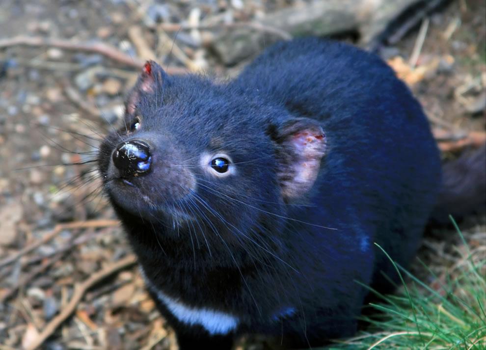 Tasmanian Devil at Cradle Mountain
