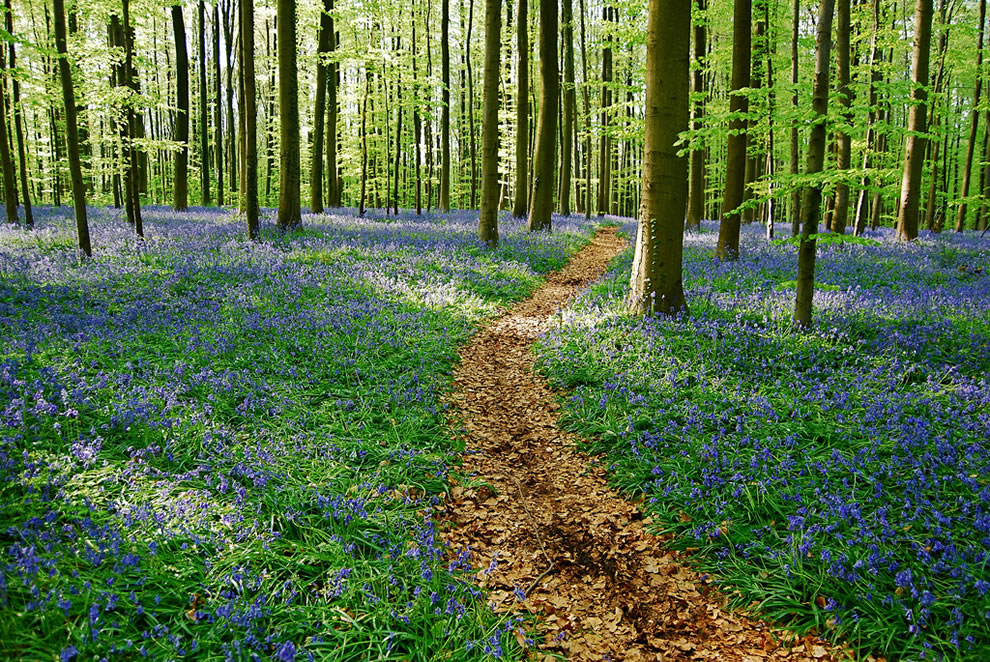 The bluebells path at the end of an afternoon in Belgium