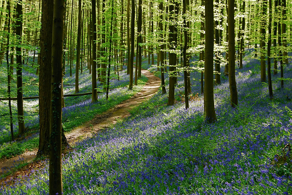 The sun was going down, path among the bluebells of Belgium