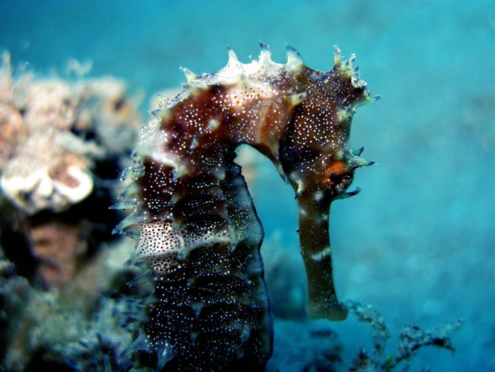 Thorny Seahorse - Hippocampus jayakari - in Egypt. It can change color to blend in with its surroundings
