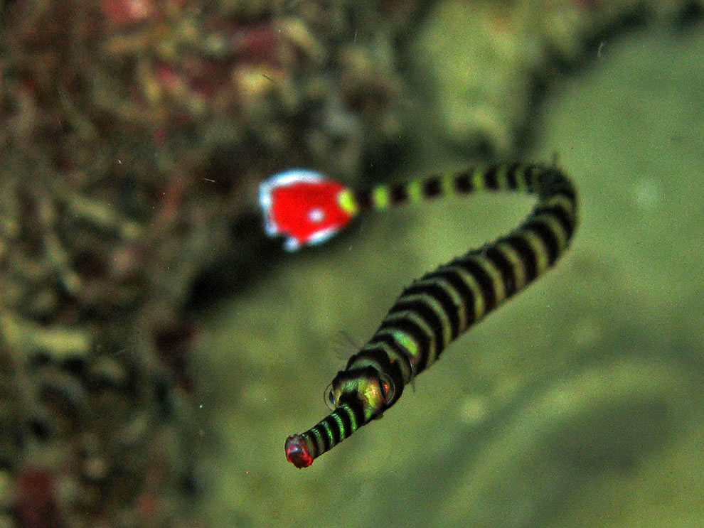 Toothless pipefish is snake-like and has a long, thin straight body and tail