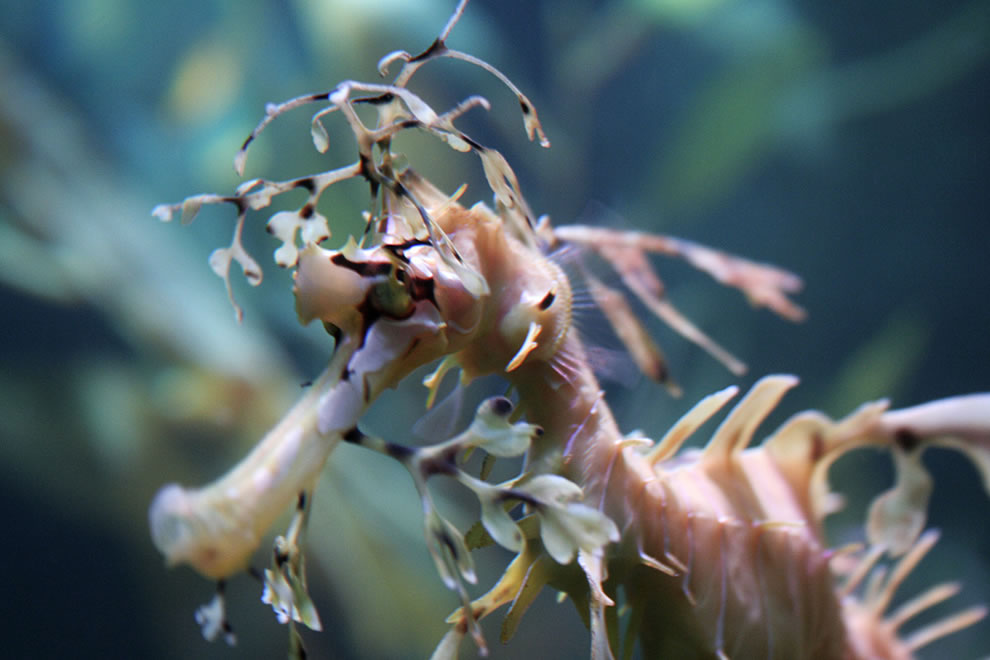 Up close and personal with a leafy seadragon