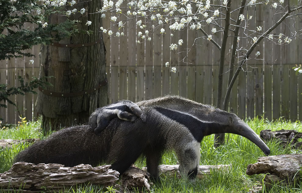 Baby Giant Anteater piggyback riding mom