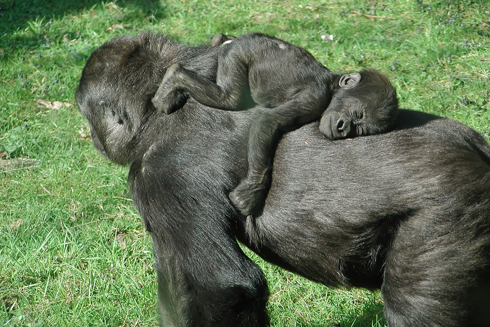 Baby gorilla sleeping on mom's back