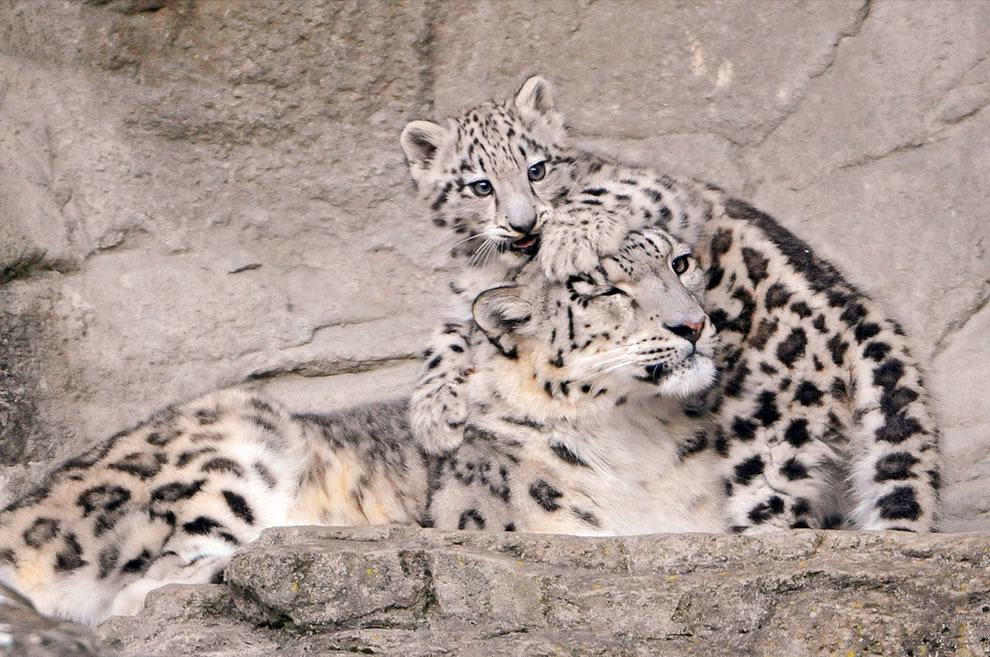 Baby snow leopard playing with mom