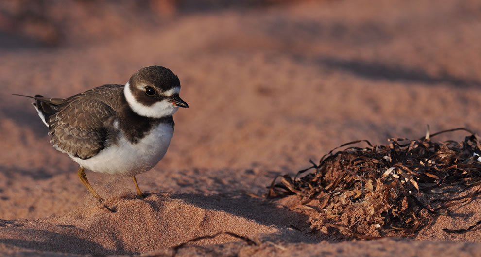 Bird on the red sands of Thunder Cove, Prince Edward Island, Canada