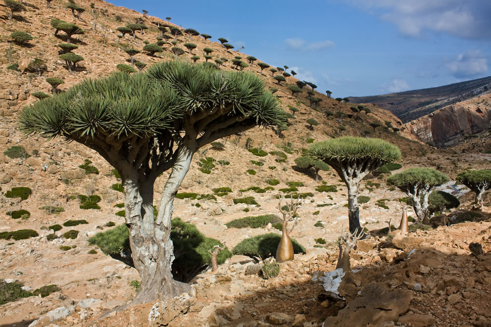 Dragon's blood tree is the symbol of Socotra