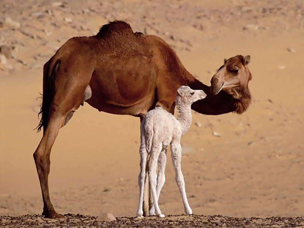 Dromedary Mom and baby camel