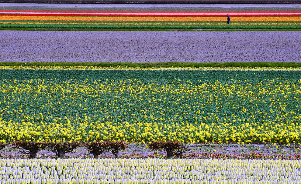 Tulips and Dutch Color Fields